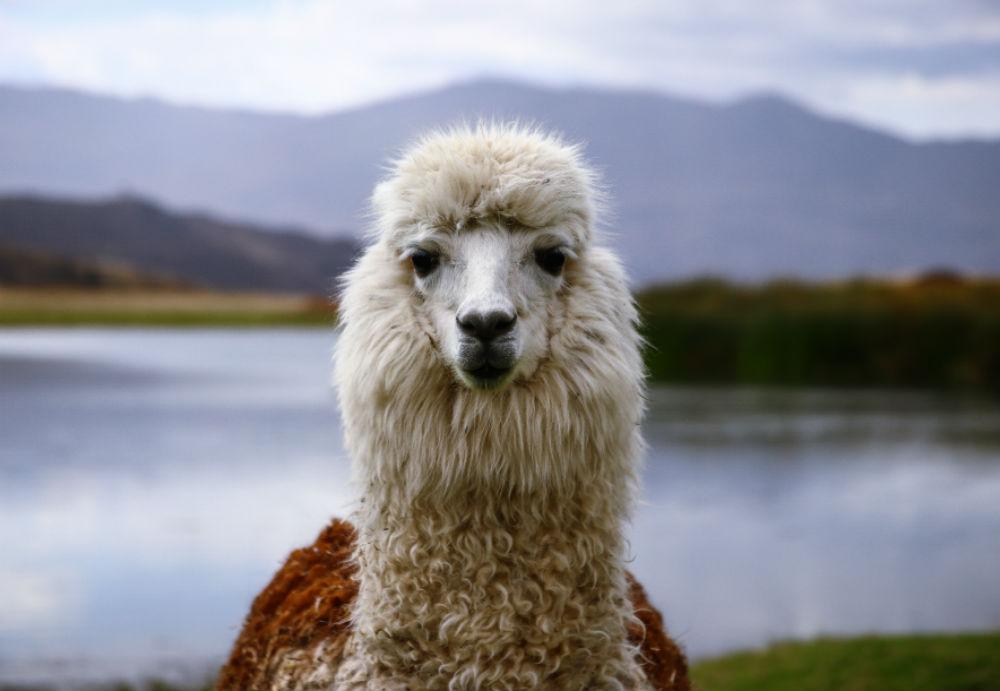 alpaca Airbnb FEM FEM