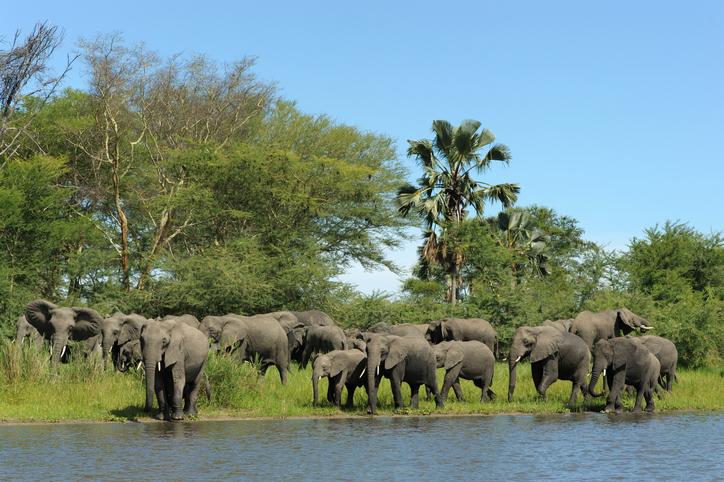 """Elephant herd along Shire river, Liwonde National park, Malawi."" via iStock"