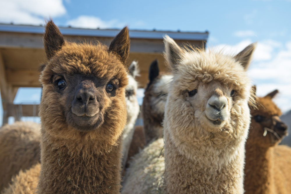 overnachting alpaca boomhut FEM FEM