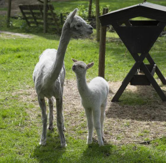 drenthe alpaca's