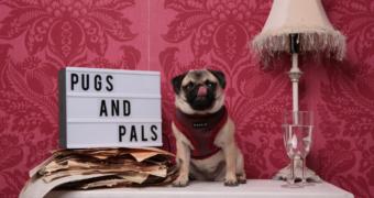 Knuffel met mopshonden bij Pugs & Pals café in Londen